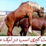 جفت گیری اسب Horse mating