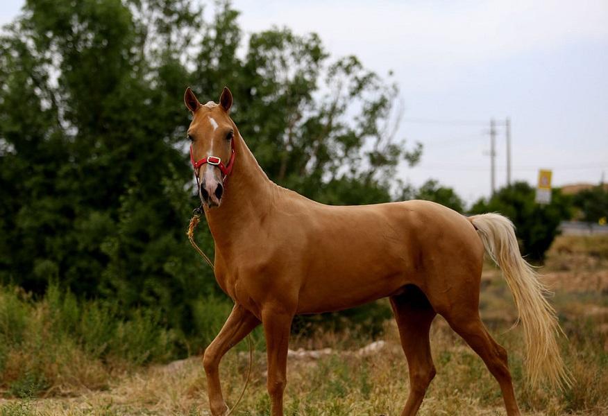 کشش اسب ترکمن