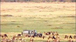 شکار و جنگ و جدال پلنگهای تیزدندان با حیوانات حیات وحش افریقا