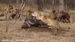 لحظاتی ترسناک از شکار شیر ها – جنگ و نبرد حیوانات