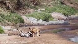 گورخر ,شکار حیوانات, شیر ,حیات وحش آفریقا