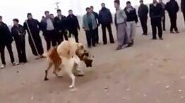 جنگ وحشیانه خونین دو سگ سرابی در ایران!