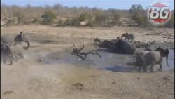 حظه ای حمله اسب آبی به شیرهای درنده. 18