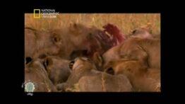 حیواناتی که شیر ها را می کشند,مستند,حیوانات,شکار,حیات وحش,راز بقا
