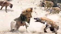 دنیای ترسناک و وحشیانه حیوانات وحشی شکار وحشیانه جنگ کفتارها برای قلمرو