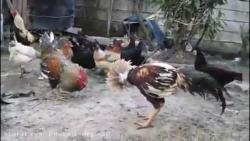 نبرد خروس های لاری نبرد حیوانات