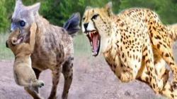 نبرد سهمگین پلنگ و کفتار جنگ پلنگ با کفتار نبرد خونین حیوانات
