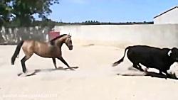 نبرد گاو وحشی و اسب حیوانات وحشی نبرد های سهمگین