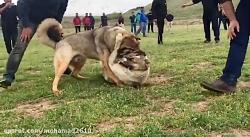 وحشی ترین جنگ دو سگ آلابای