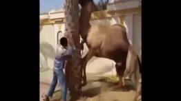 حمله مرگبار شتر به انسان ( حتما ببینید) خیلی خفن