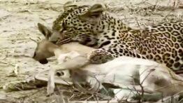حیوانات وحشی و پلنگ و شکار آهو