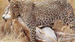 دردناک ترین صحنه های شکار گرازها توسط حیوانات وحشی,مستند,حیوانات,شکار
