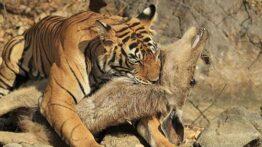 بهترین لحظات شکار، نبرد، حملات در دنیای حیوانات 16