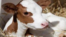 تاثیر-اضافه-کردن-طعم-دهنده-ها-در-خوراک-گوساله-ها-پس-از-شیر-گرفتن