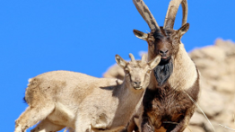 جفتگیری حیوانات در کوه و ریزش کوه