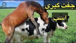 جفت گیری اسب , اسب , جفت گیری حیوانات