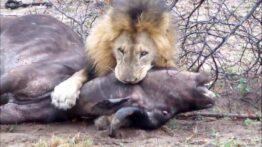 جنگ تمام نشدنی شیر و بوفالو
