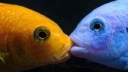 جفت گیری و تخمگذاری عجیب ماهی ها