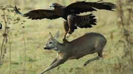 حمله ی غافلگیر کننده ی عقاب وحشی