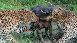 کلیپ حیوانات – حیوانات وحشی – شکار حیوانات – حیات وحش