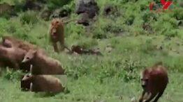 وحشت گله کفتارها از یک شیر نر