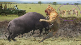 راز بقا – مستند حیات وحش – شکست دادن شیر توسط بوفالو