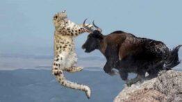 شکار حیوانات نجات دادن یاک از چنگال پلنگ برفی حیات وحش