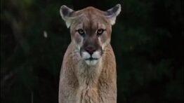 مجموعه ای از حمله شیر به حیوانات…حتما ببینید.